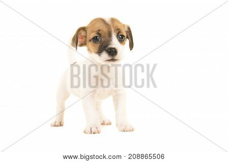 Cute brown and white jack russel terrier puppy seen from the front facing the camera standing isolated on a white background