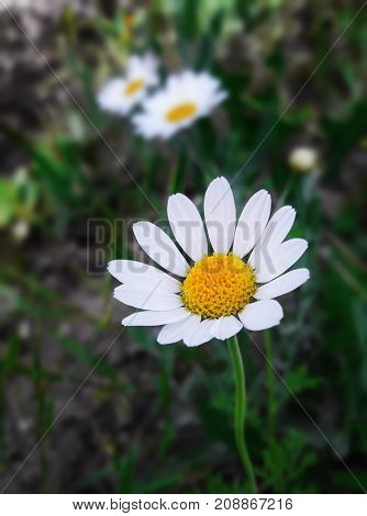 the beautiful alone chamomile in garden. being alone is more beautiful than being with wrong ones! ..