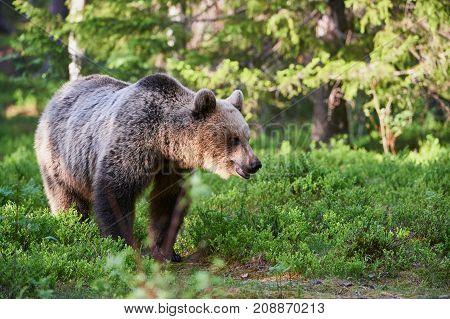 Wild brown bear walking in the finnish taiga
