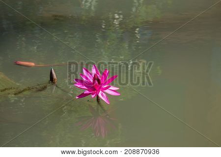 the pink lotus with refection under sunlight
