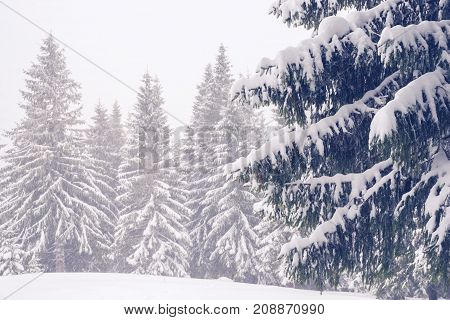 Huge Firs Covered With Snow