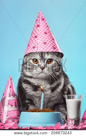 Cute Scottish Fold celebrates its birthday with a birthday cone on her head