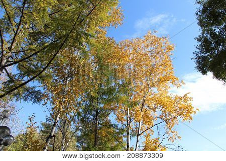 Birch with golden leaves and green larch on a background of blue sky / Autumn landscape in the park / Trees with autumn foliage against the blue sky with clouds