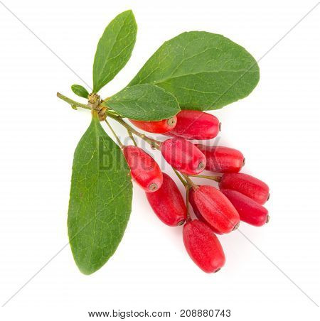 fresh barberry twig with leaves isolated on a white background.