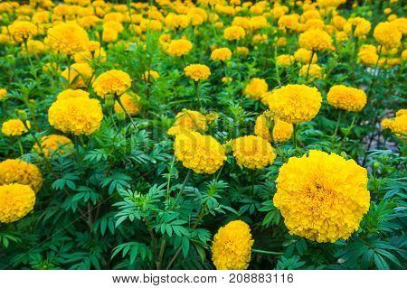 Beautiful Yellow Marigolds Flowers Growing In The Garden.