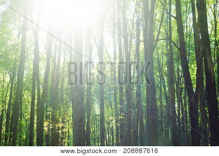 Forest background. tree trunks with green foliage