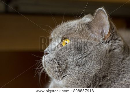 Close-up photo of a gray cat's head with yellow eyes on a blurred background