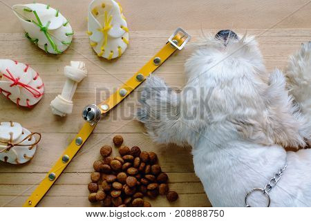 Short hair white shih-Tzu dog with toys collar and food on wooden floor