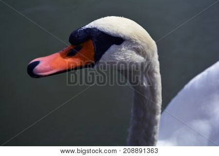 beautiful white Swan floating in a pond