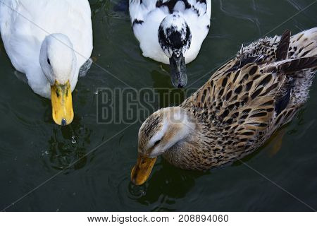 ducks in the lake to catch the bread crumbs