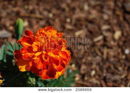 Marigold Orange Red