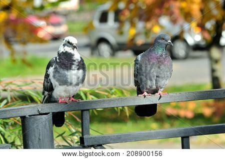 City pigeons sit on the railing. City pigeon, a bird.