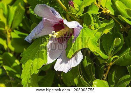 Hibiscus flower closeup . . . .