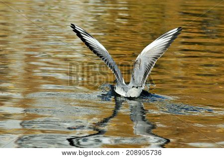 Black-headed gull.A young bird, the plumage of a young bird. The bird lands on the surface of the water. Autumn, October.