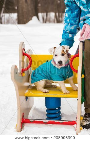 Dog Jack Russell Terrier plays in winter park