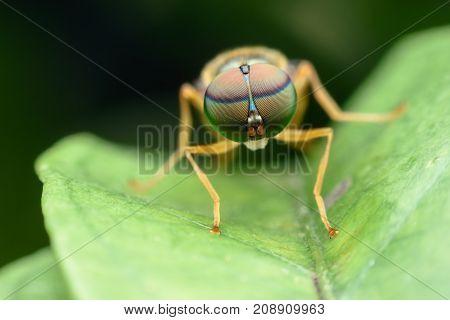 Super macro Fruit fly on green leaf