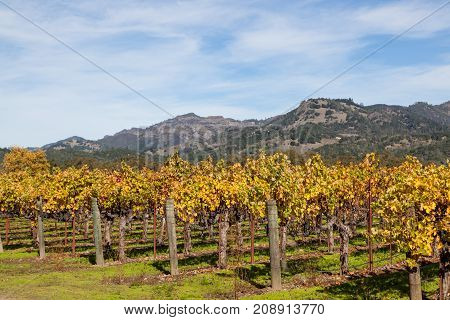 Rows of Grape vines some with grapes still hanging are changing leaf color from green to yellow and orange during the fall season in Napa Valley California.