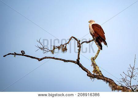 Brahminy kite or Haliastur indus, bird of prey in National park Yala, Sri Lanka