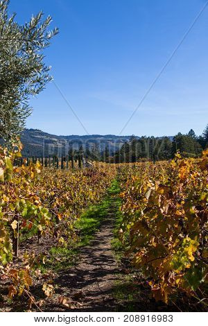 Looking down a row of changing grape leaves at a Napa Valley landscape in autumn.
