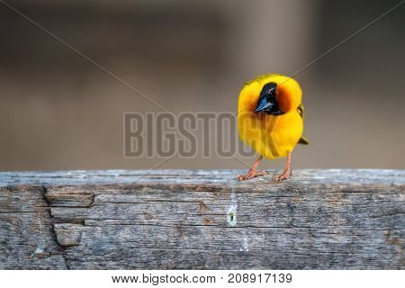 Vitelline masked weaver or Ploceus vitellinus in Tanzania
