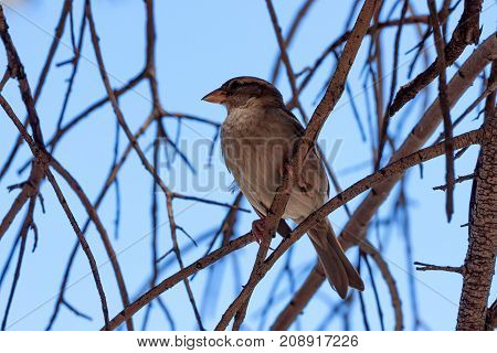 Portrait of an adult female of a house sparrow or Passer domesticus