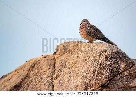 Wild spotted dove or Spilopelia chinensis ceylonensis