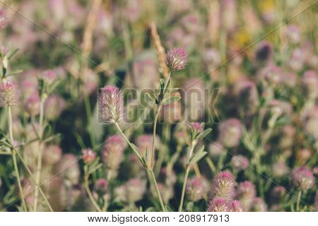 Trifolium Arvense Commonly Known as Hare's-foot Clover on Blurred Background.