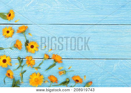 Calendula. Marigold flower on blue wooden background with copy space for your text. Top view.
