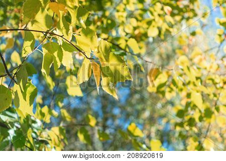 Birch branches with yellow and orange leaves in the background foliage. In the background is trees with autumn leaves of yellow orange green and red. Day the sun is shining. Visible blue sky.