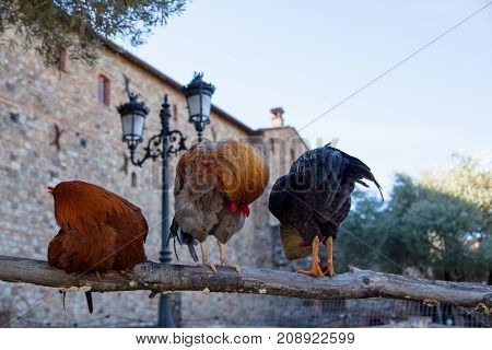 Three roosters in various stages of grooming themselves in humorous poses on an old wooden fence.