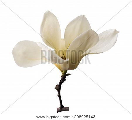 White magnolia. Creamy blossom of white magnolia tree. Magnolia flower in Botanic garden. decoration of few magnolia flowers