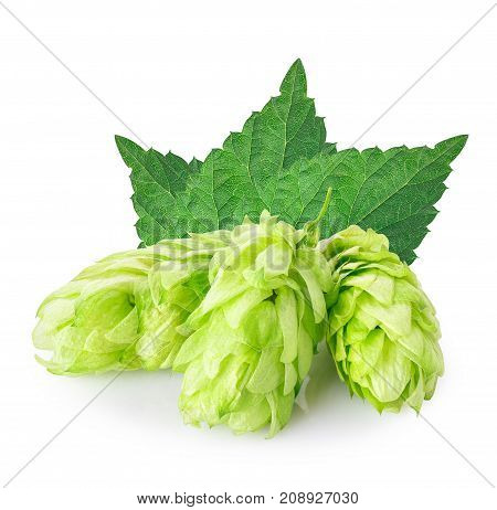 fresh green hop cones with leaves isolated on white background. Ingredient for brewing