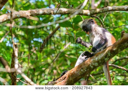 Close-up of baby of Zanzibar red colobus or Procolobus kirkii eats unripe fruit in Jozani forest, Tanzania. Monkeys in the jungle