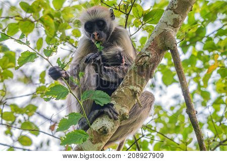 Mother and baby of Zanzibar red colobus or Procolobus kirkii eats unripe leaves in Jozani forest, Tanzania. Monkeys in the jungle