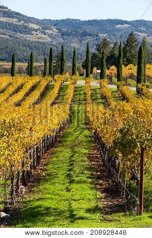 A fall landscape of rows of golden grape leaves leading into trees and mountains of Napa Valley California.