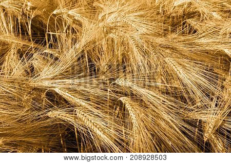 Beautiful Barley Field in period harvest. Raw materials for beer.