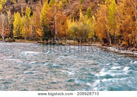 A picturesque view on the birch trees with a yellow autumn foliage on the shore of a fast mountain river with beautiful turquoise water at sunset
