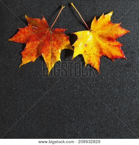 Autumn maple leaves and water drops on black stone background top view. Space for text