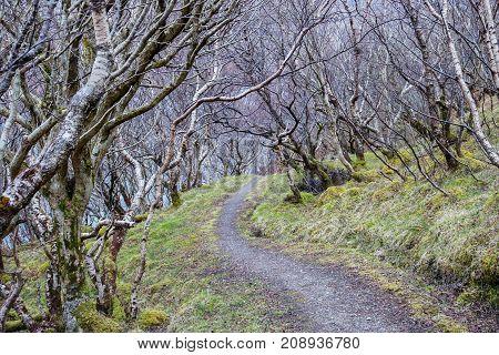 Gravel Pathway Through Grove of Bare White Trees in Scotland