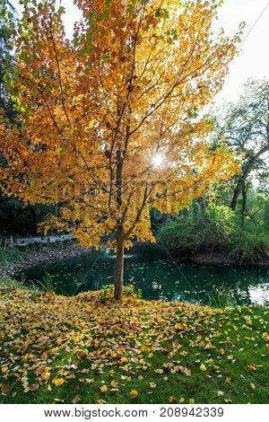 The afternoon sunshine is glowing through the yellow leaves of a deciduous tree next to a pond in autumn.