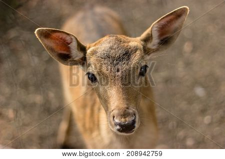 muzzle of deer yand with big yeas