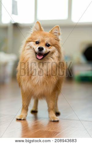 large red-headed Spitz stands on the floor joyfully sticking out his tongue