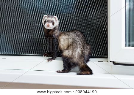 Curious Black and white ferret sitting on the windowsill