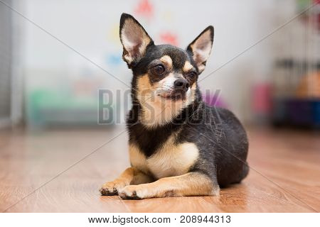 Adult Toy Terrier lies on the floor folding his paws in front of him
