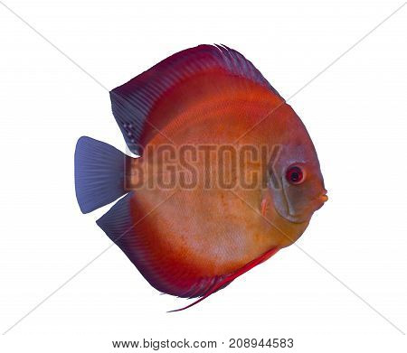 San Merah discus fish isolated in a white background