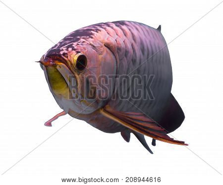Asian gold arowana fish isolated in a white background