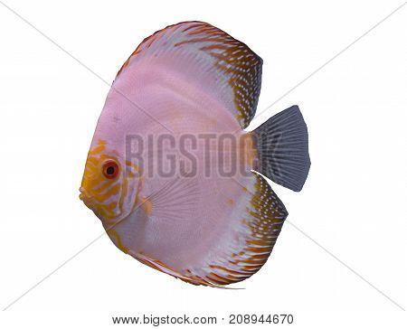 White butterfly discus fish isolated in a white background