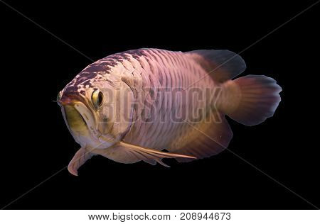 Asian gold arowana fish isolated in a black background