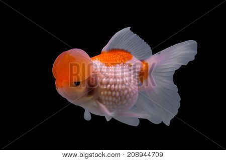 Bubble pearl scales goldfish in a black background