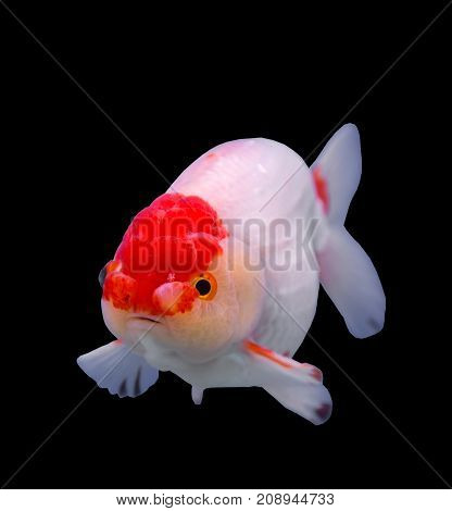 Lionhead goldfish isolated in a black background